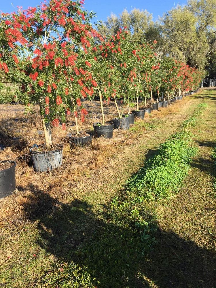 callistemon-viminalis-weeping-bottlebrush