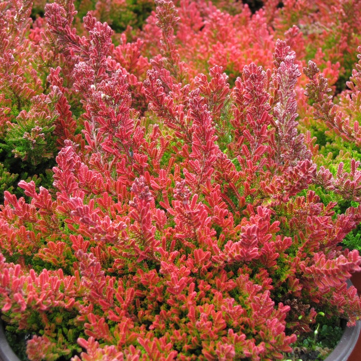 calluna-vulgaris-blazeaway-scotch-heather