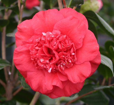 camellia-japonica-april-tryst-japanese-camellia
