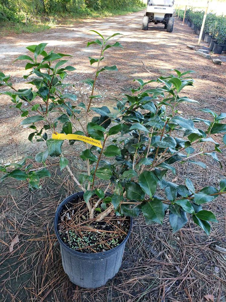 camellia-japonica-greensboro-red-japanese-camellia