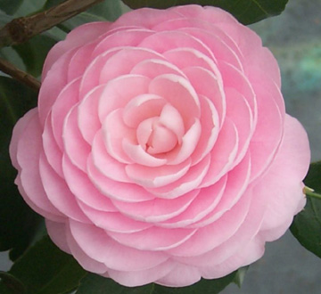 camellia-japonica-pink-perfection-japanese-camellia