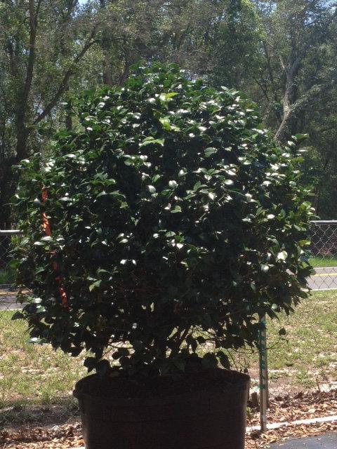 Bt Trees Amp Shrubs Plantant Com