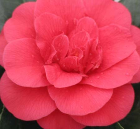 camellia-japonica-rosehill-red-japanese-camellia