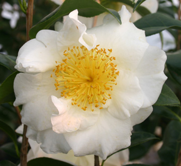 camellia-japonica-silver-waves-japanese-camellia