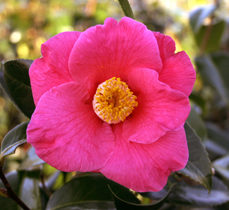 camellia-japonica-spring-s-promise-japanese-camellia
