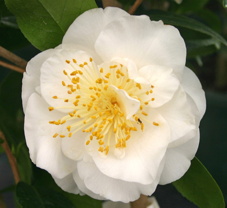 camellia-japonica-victory-white-japanese-camellia