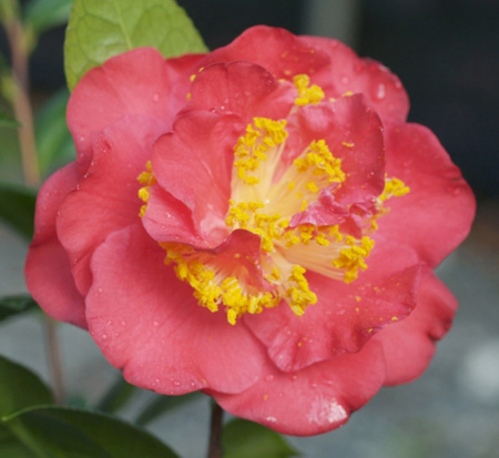 camellia-red-fellow