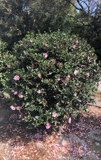 Caren S Camellias Tree Farm Llc Plantant Com