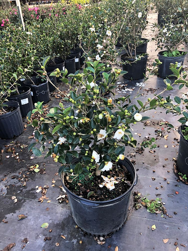 camellia-sasanqua-mine-no-yuki-camellia-snow-on-the-mountain
