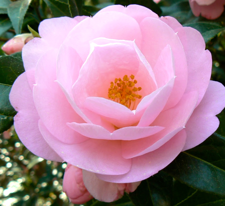 camellia-taylor-s-perfection-hybrid-camellia-williams-camellia