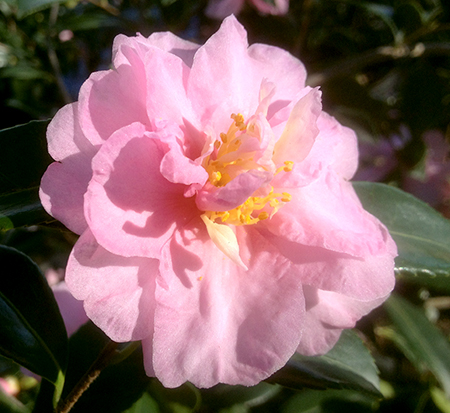 camellia-winter-s-interlude