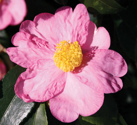 camellia-winter-s-star