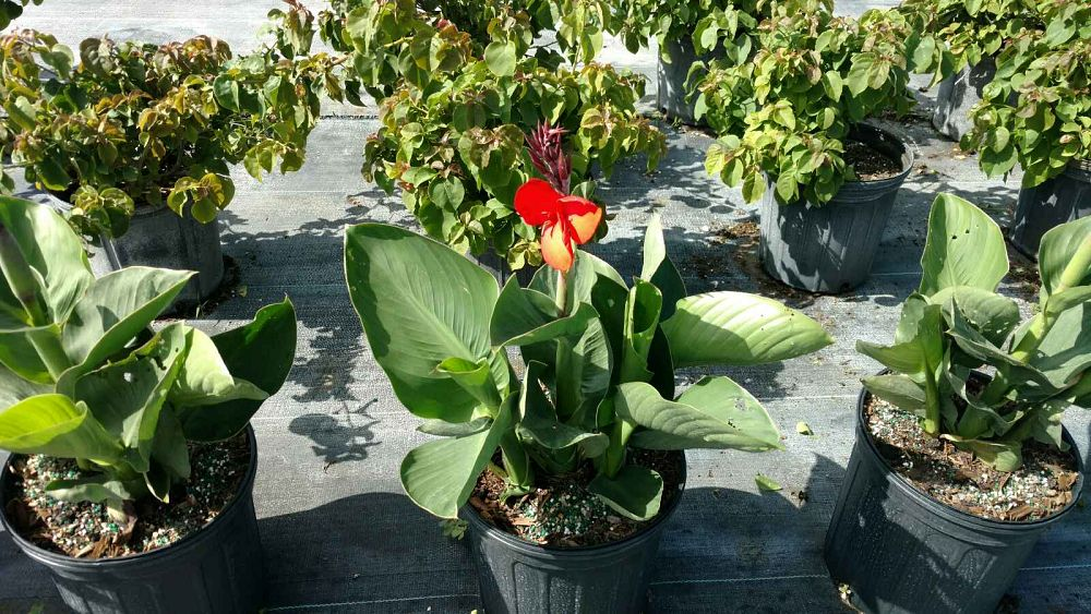canna-generalis-canna-lily