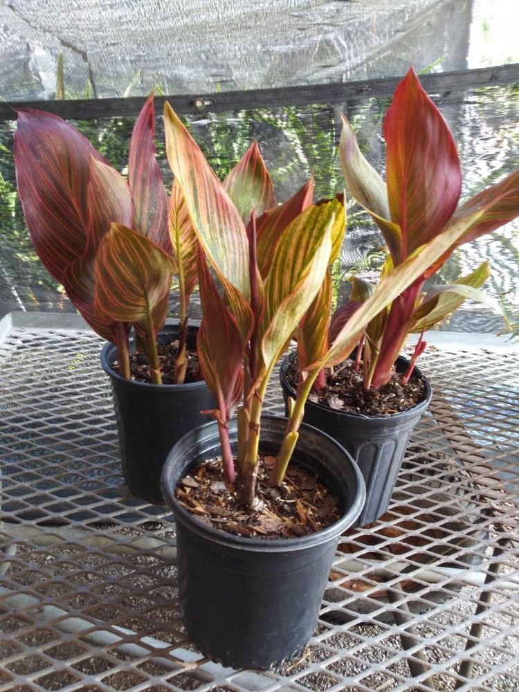 canna-generalis-tropicanna-gold-canna-lily