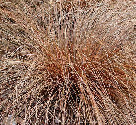 carex-buchananii-red-rooster-leather-leaf-sedge
