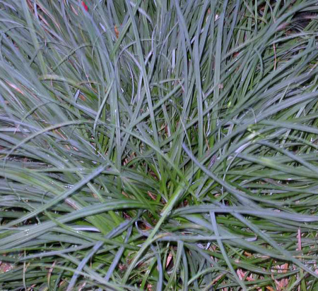 carex-flacca-blue-zinger-blue-sedge