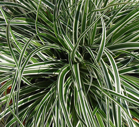 carex-oshimensis-carfit01-carex-evercolor-everest-japanese-sedge-carex-hachijoensis-oshima-kan-suge