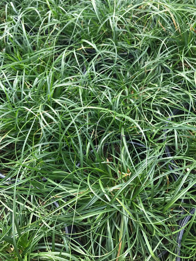 carex-tumulicola-berkeley-sedge