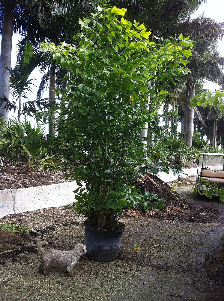 Caribbean Tree Farms Plantant Com