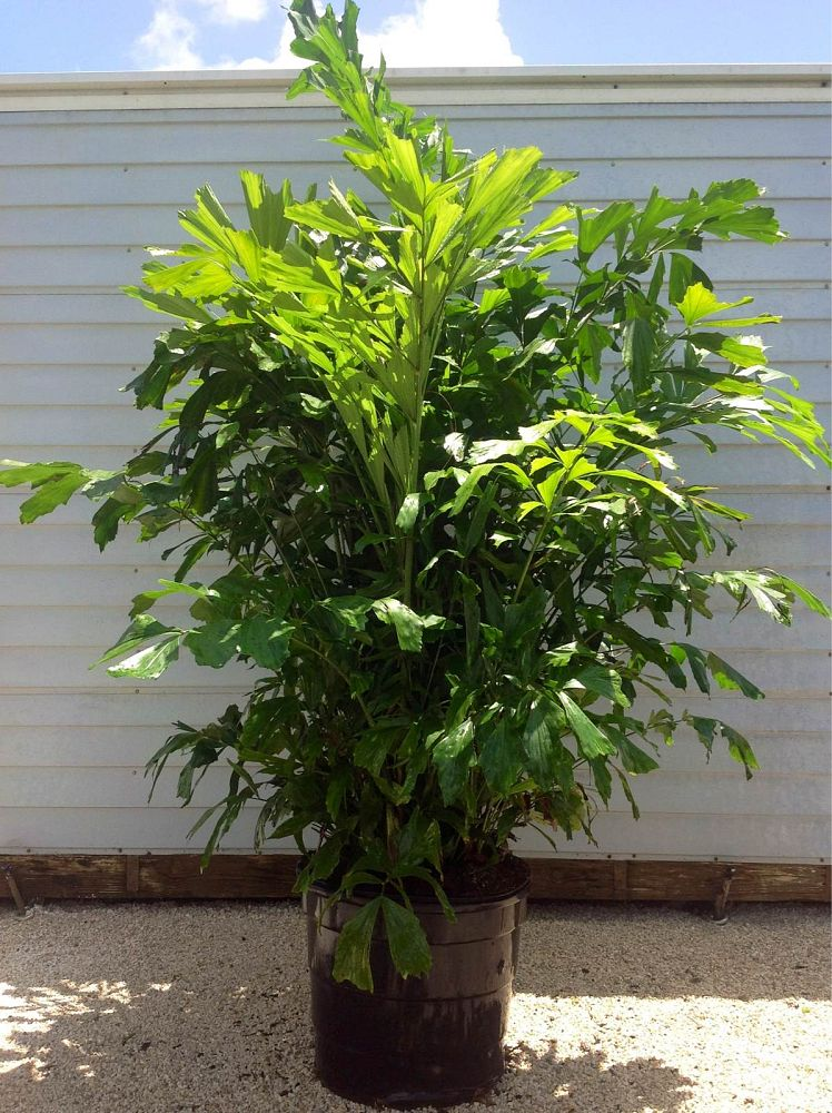 caryota-mitis-fishtail-palm