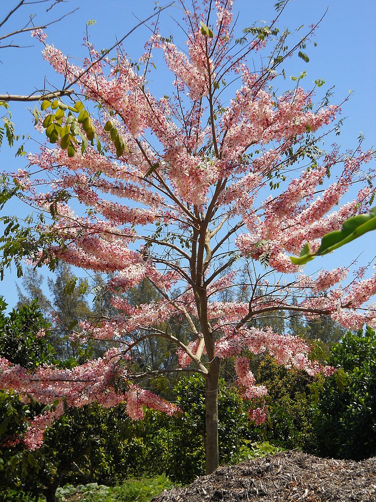 cassia-bakeriana-pink-shower-cassia-dwarf-apple-blossom-tree