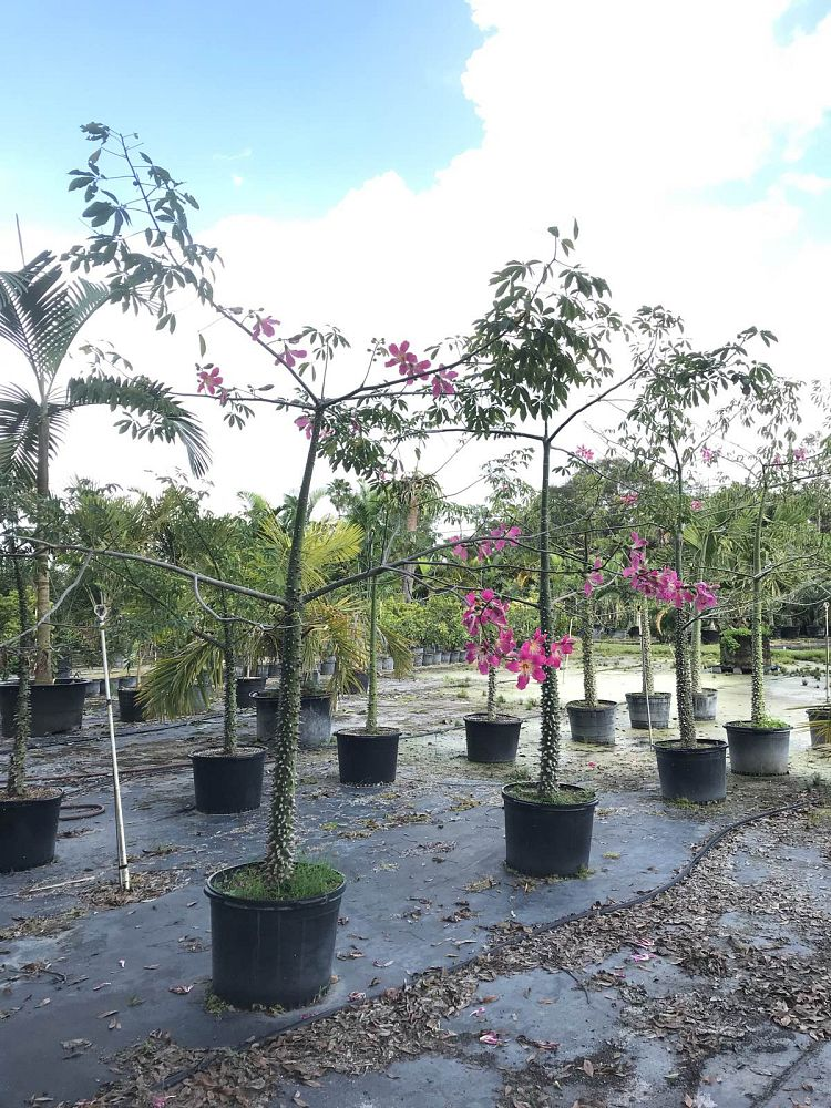 ceiba-speciosa-floss-silk-tree