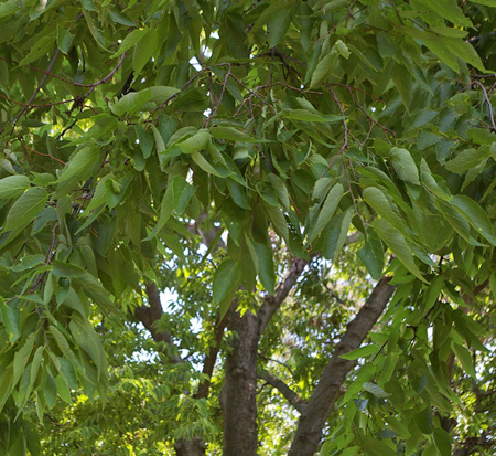 celtis-occidentalis-hackberry