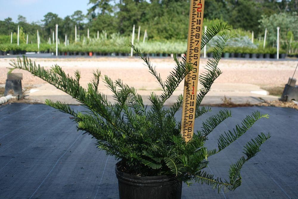 Doremus wholesale nursery for Duke gardens plum yew
