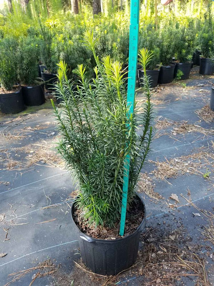 cephalotaxus-harringtonia-fastigiata-japanese-plum-yew-upright