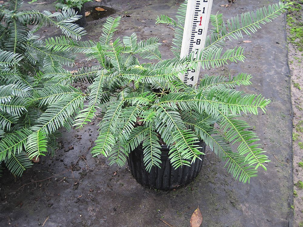 Image gallery tropic traditions for Duke gardens plum yew