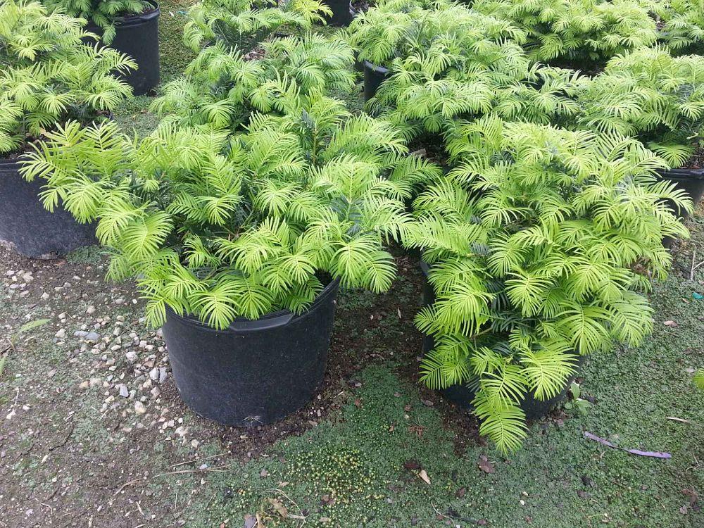 Live Oak Gardens, Ltd. | plantANT.com