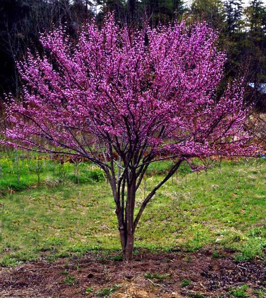 cercis-canadensis-ace-of-hearts-eastern-redbud