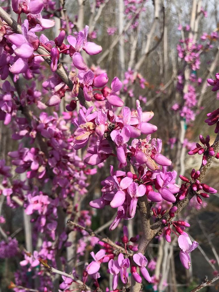 cercis-canadensis-bubble-gum-eastern-redbud