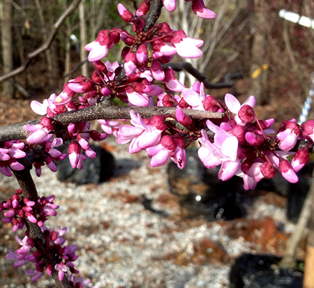 cercis-canadensis-eastern-redbud