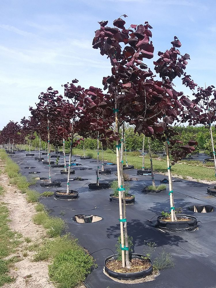 cercis-canadensis-forest-pansy-eastern-redbud