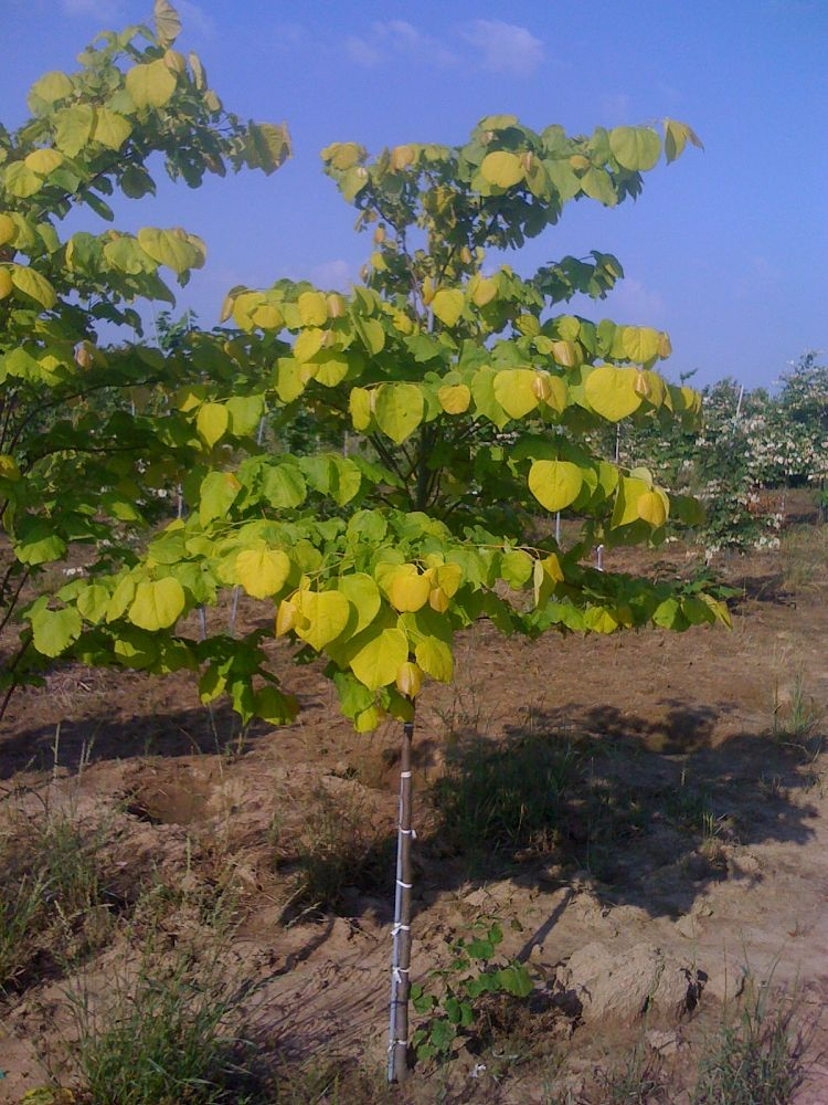 cercis-canadensis-hearts-of-gold-eastern-redbud