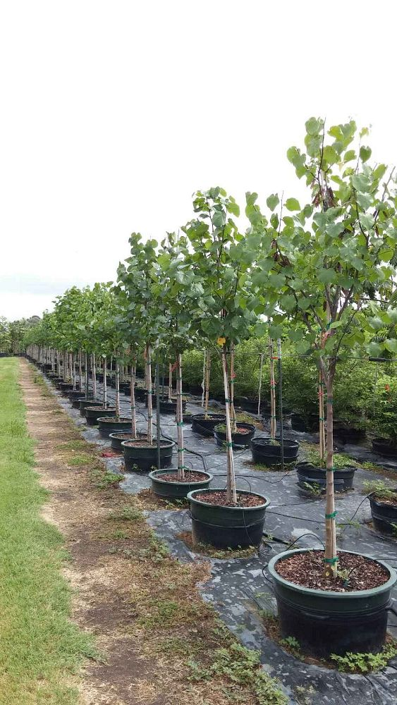 cercis-canadensis-texensis-texas-redbud