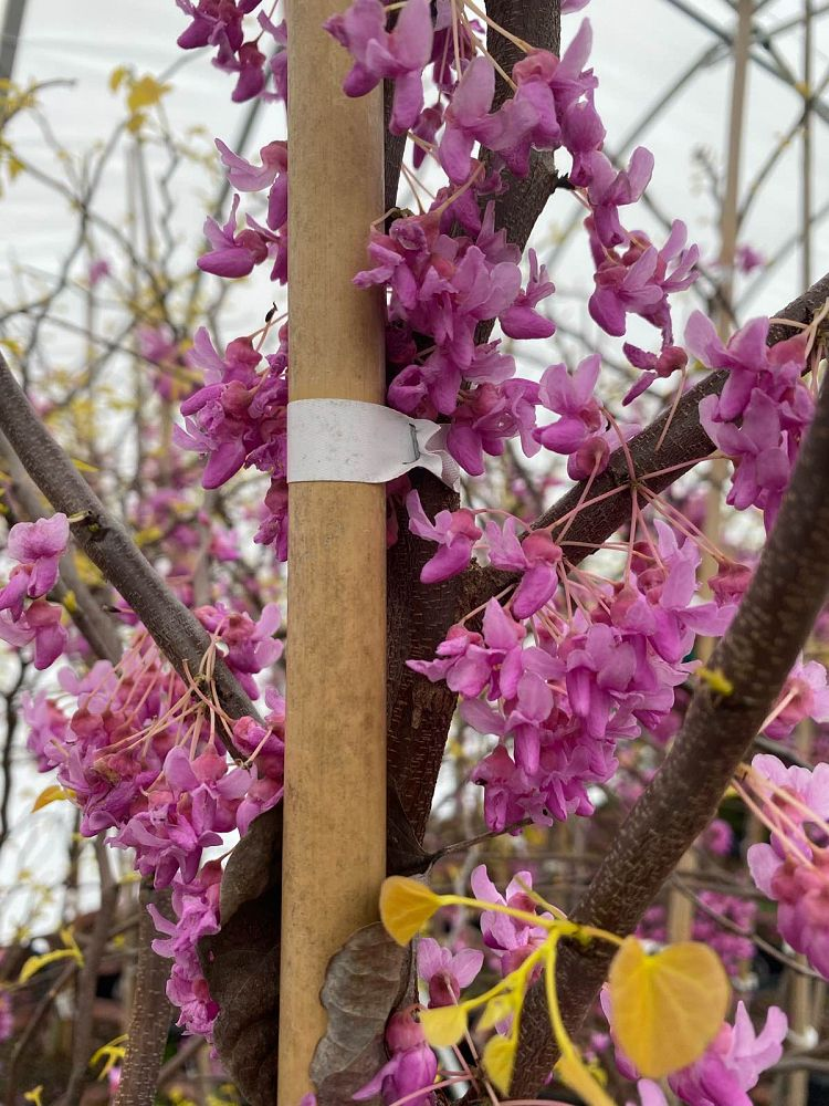 cercis-canadensis-the-rising-sun-eastern-redbud