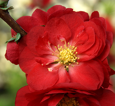 chaenomeles-speciosa-double-take-scarlet-storm-flowering-quince