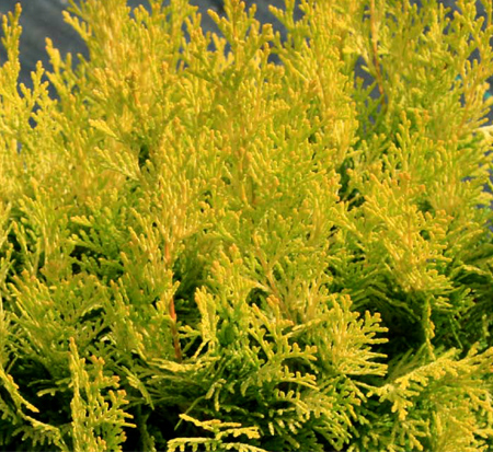chamaecyparis-obtusa-conschlecht-hinoki-false-cypress-night-light