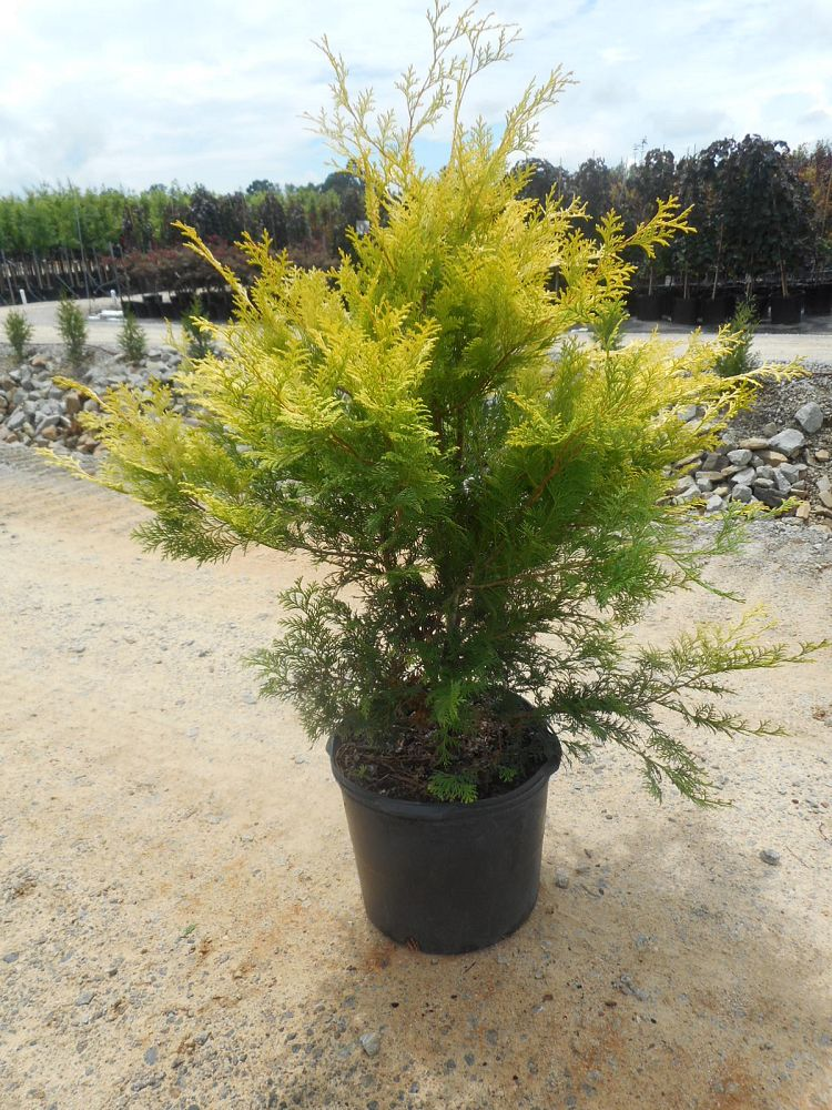 chamaecyparis-obtusa-crippsii-golden-hinoki-false-cypress