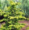 chamaecyparis-obtusa-hinoki-false-cypress