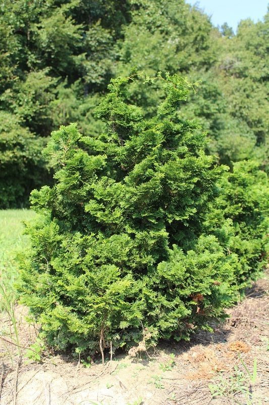 chamaecyparis-obtusa-nana-gracilis-hinoki-false-cypress