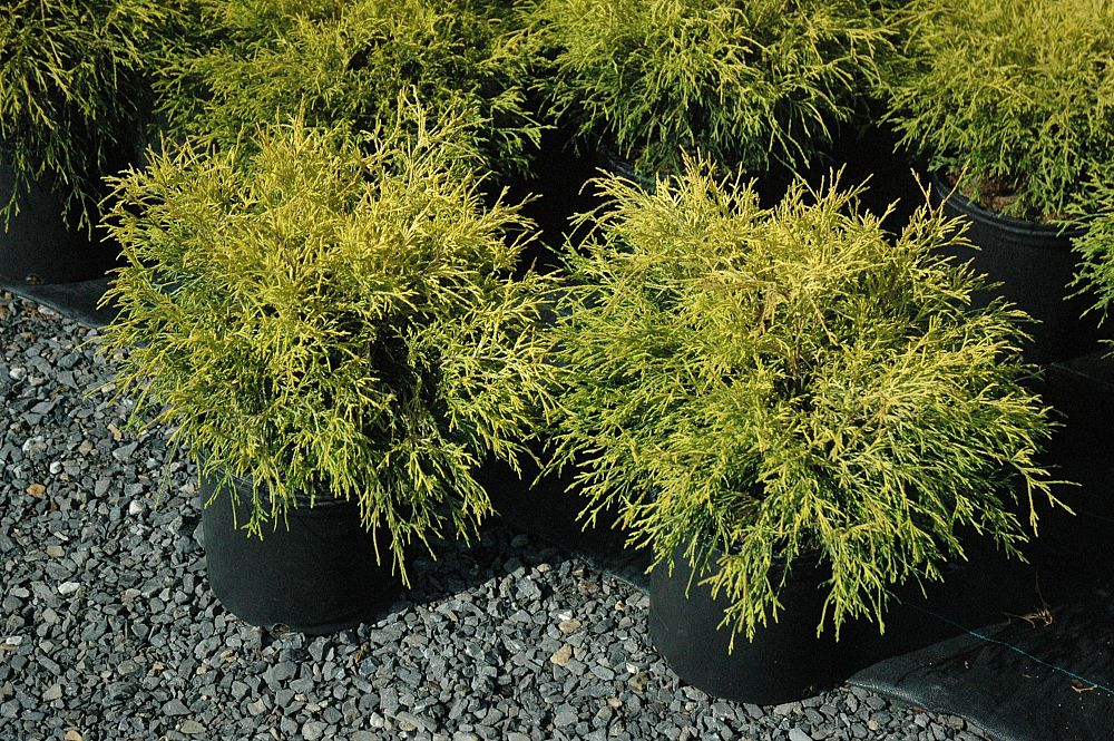 chamaecyparis-pisifera-golden-mop-japanese-false-cypress