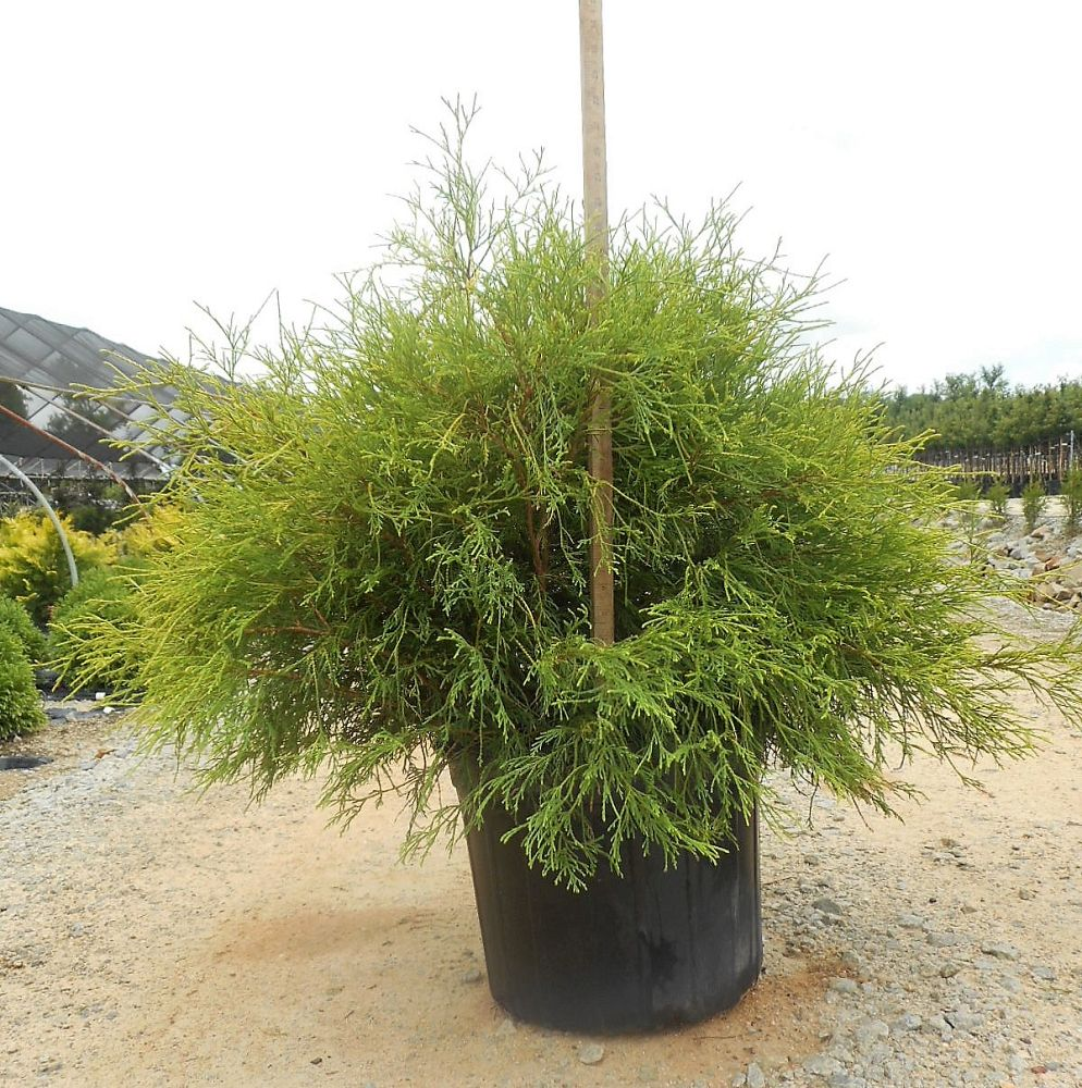 chamaecyparis-pisifera-king-s-gold-gold-mop-falsecypress