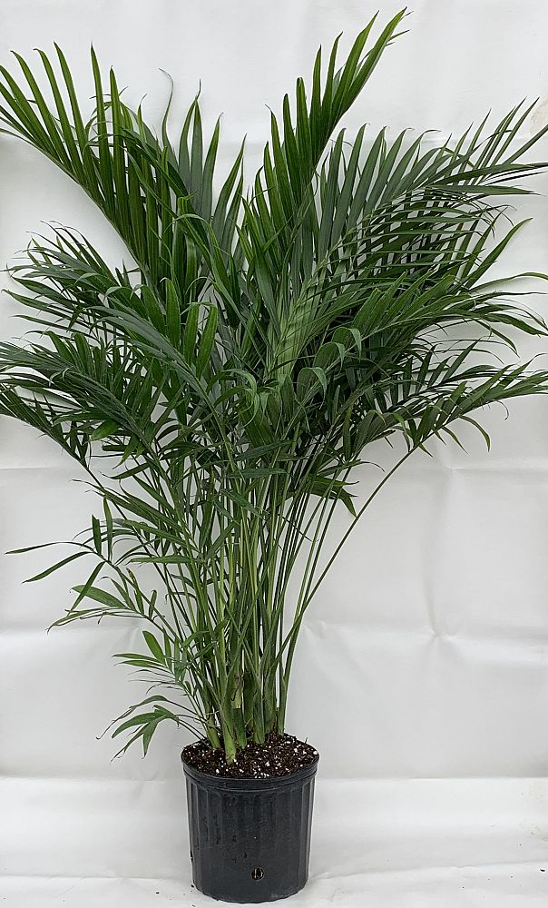 chamaedorea-cataractarum-cat-palm