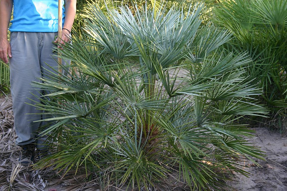 chamaerops-humilis-cerifera-silver-select-european-fan-palm-silver-mediterranean-fan-palm