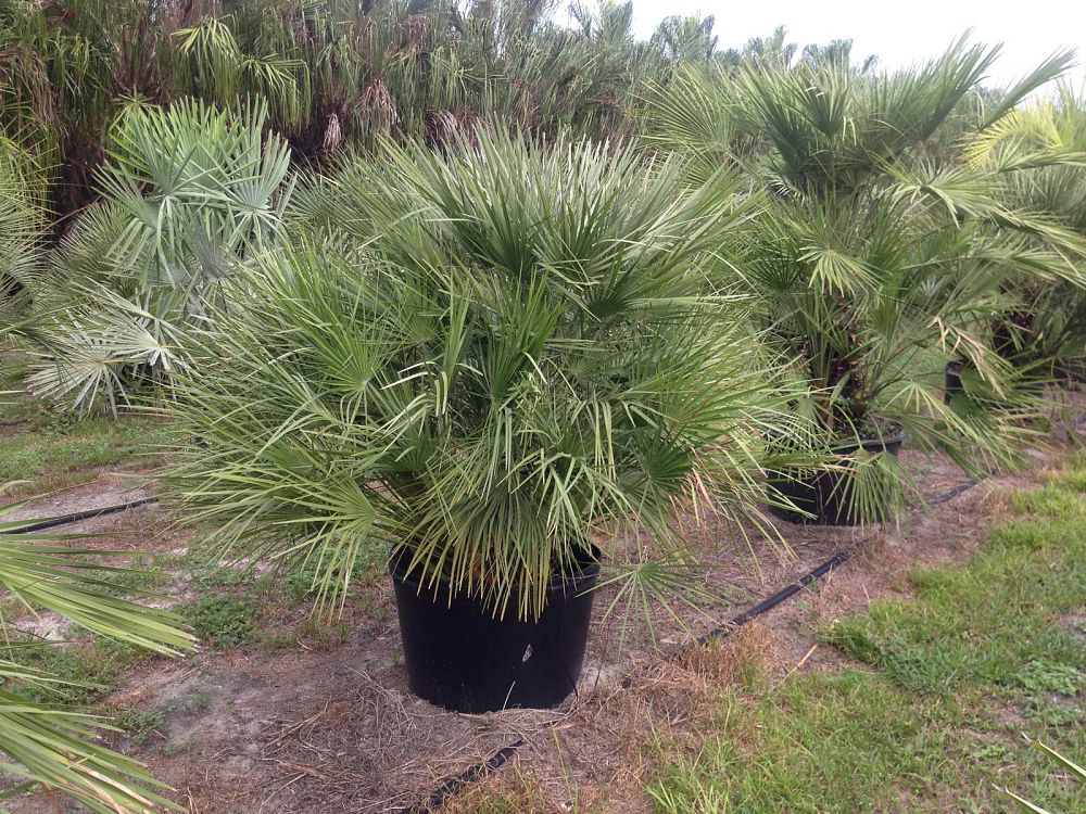 chamaerops-humilis-european-fan-palm-mediterranean-fan-palm