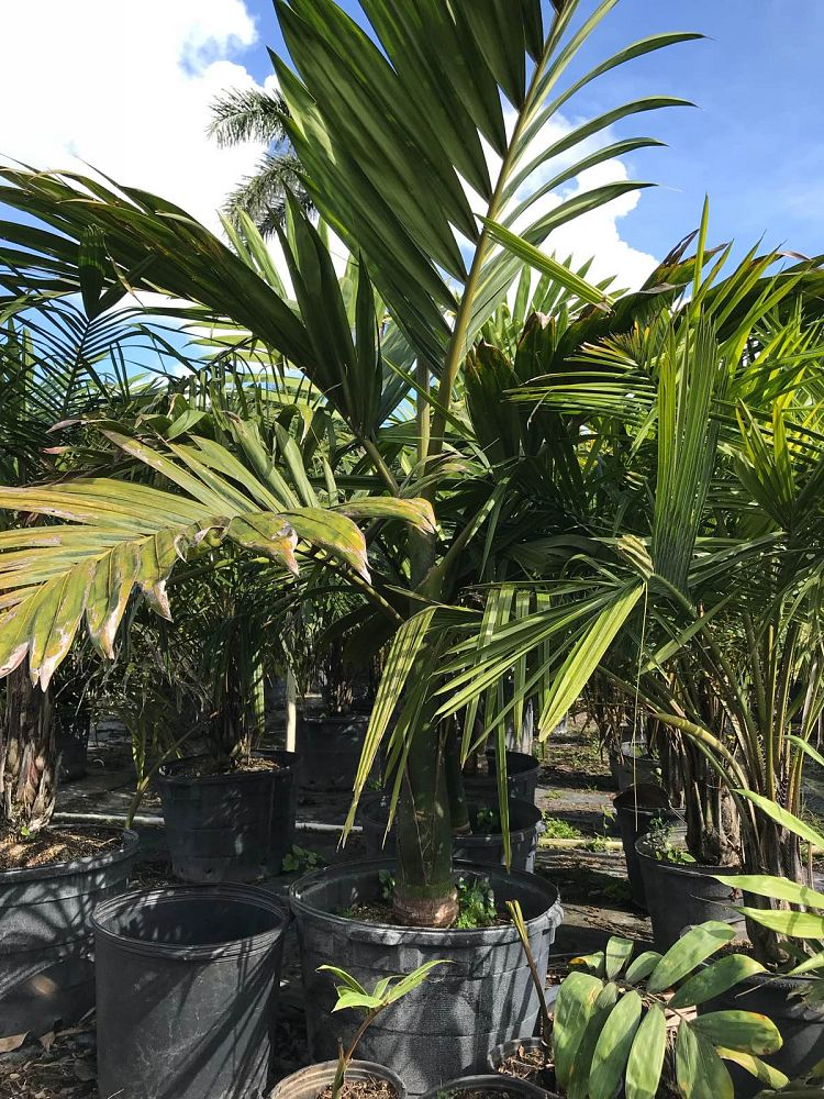 chambeyronia-macrocarpa-red-feather-palm-flamethrower-palm-watermelon-palm