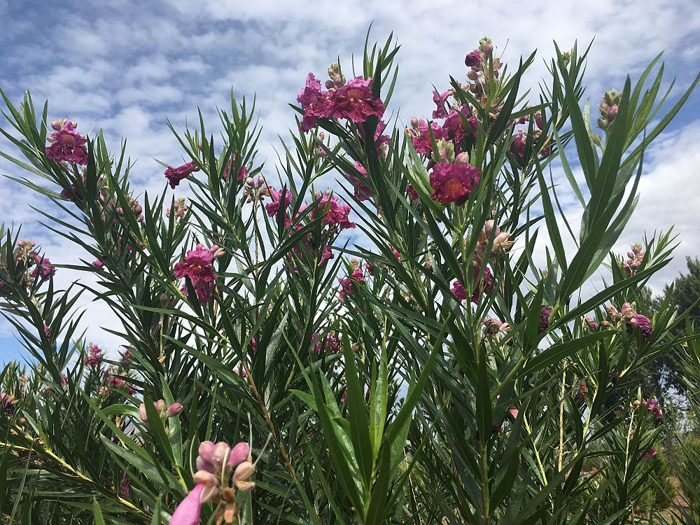 chilopsis-linearis-bubba-desert-willow